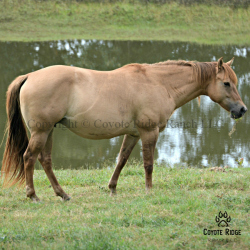 Foxy Red Rosie - Daughter of Red Roan Raider out of a Wyo Kid Curry daughter