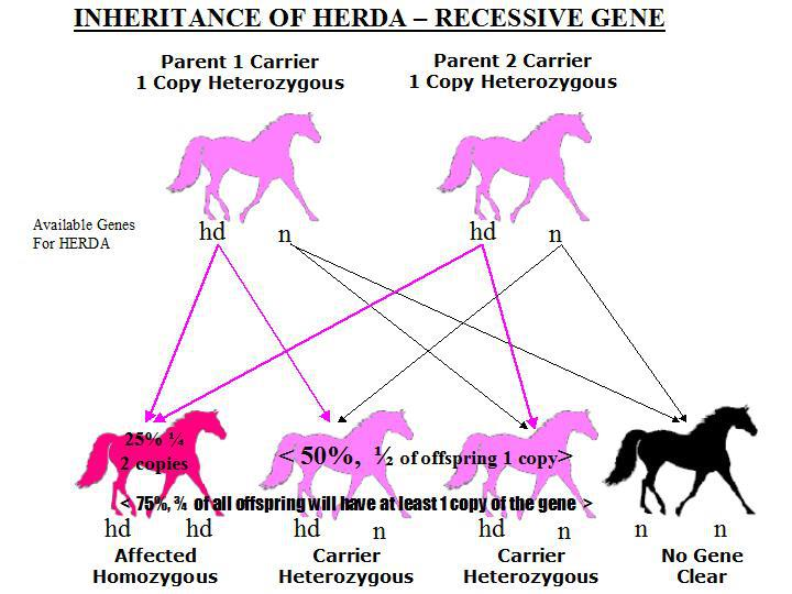 Inheritace diagram of HERDA from 2 carrier parents