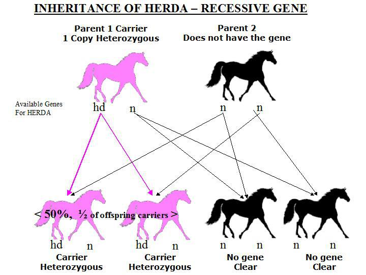 Inheritance diagram of HERDA for one carrier and one non-carrier