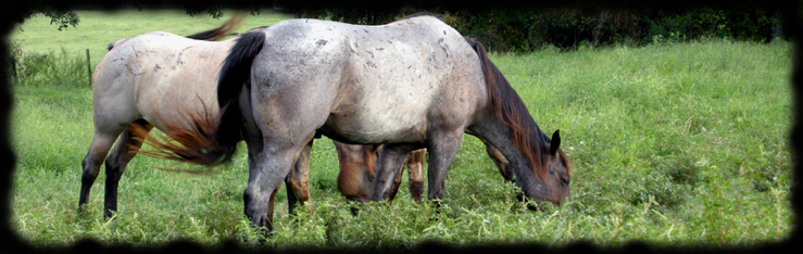 """Blue Valentine bred mares at Coyote Ridge Roans"" Copyright photo 2008 Jennifer Keller"
