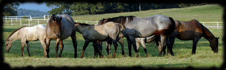 """Blue Valentine mares grazing in the front pasture.""  Copyright 2008 photo: Jennifer Keller"