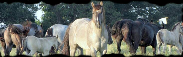 Wyo Roan Advantage with his mares the spring of 2009. Copyright © Coyote Ridge Ranch LLC